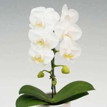 胡蝶蘭 アマビリス