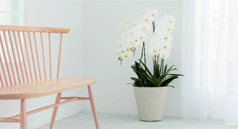 胡蝶蘭大輪 ランキング - 国内最大級の胡蝶蘭・観葉植物通販サイト