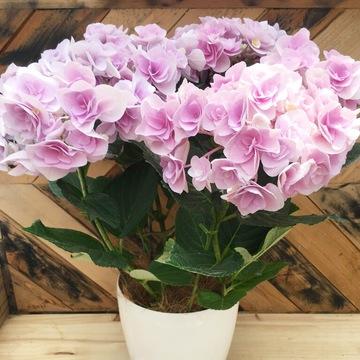 鉢花 ギャラリー写真