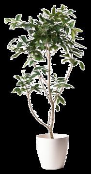 アマゾンオリーブ (ムラサキフトモモ) ノーマル
