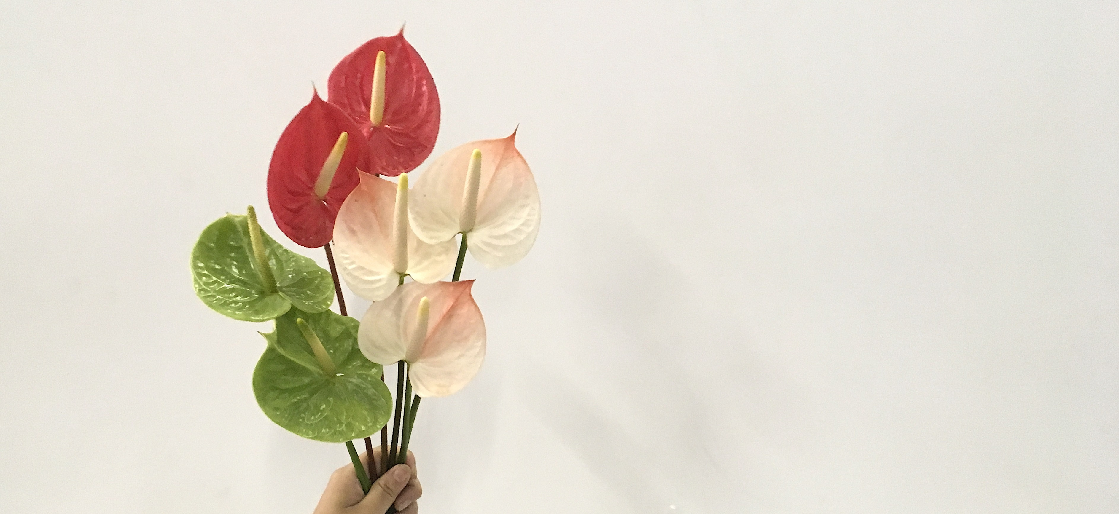 アンスリウム - お花と植物のギフト通販 HitoHana(ひとはな)