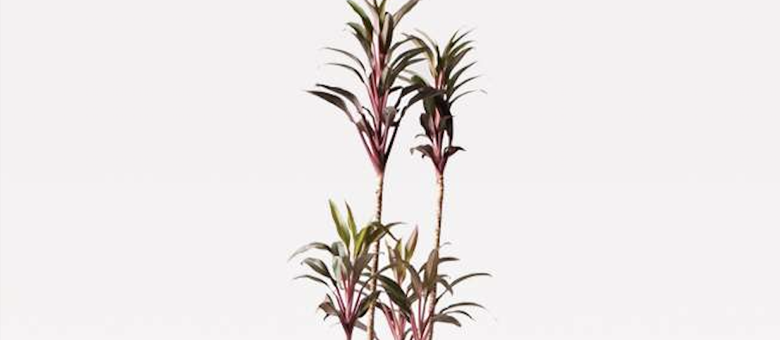 コルディリネ (コルジリネ) ターミナリス - 国内最大級の胡蝶蘭・観葉植物通販サイト