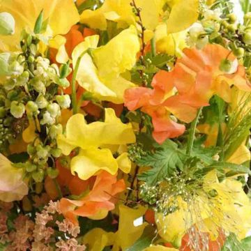 スイートピー 花束 オレンジ