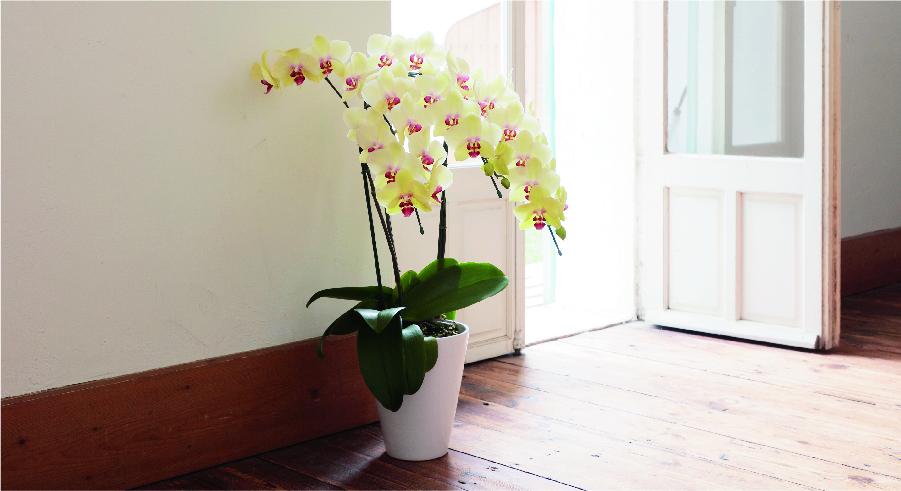 中大輪の胡蝶蘭を贈る