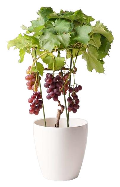 ぶどう (ブドウ)の木  ミックス