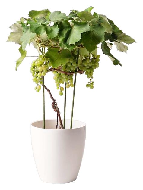 ぶどう (ブドウ)の木  マスカット