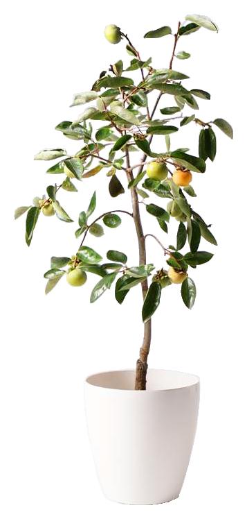 柿の木 富有
